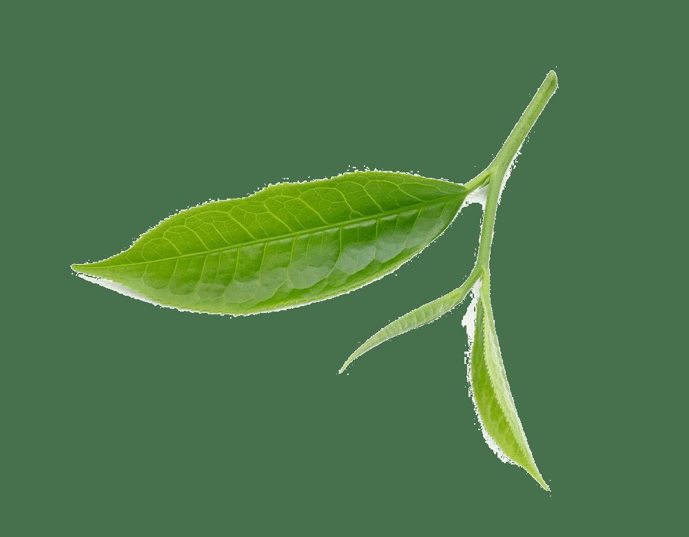 kisspng tea leaf download fresh tea leaves 5a9c8670b236f5.14503115152020747273